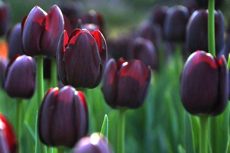 Ảnh Tulip đen rạng rỡ dưới nắng
