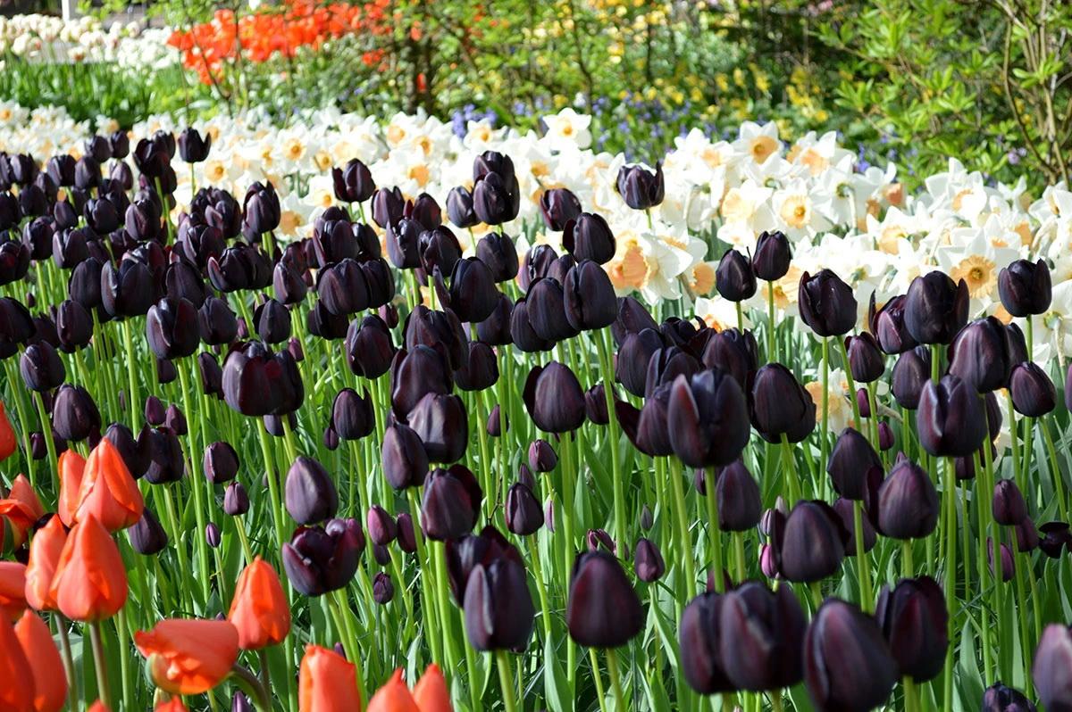 Ảnh vườn hoa tulip đen đẹp nhất
