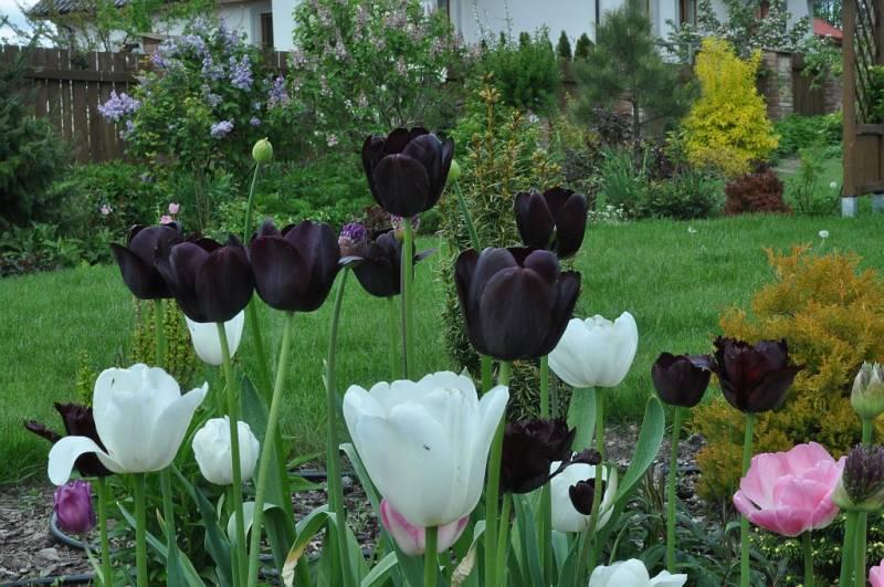 Ảnh vườn hoa Tulip đen xen kẽ Tulip trắng, hồng đẹp nhất
