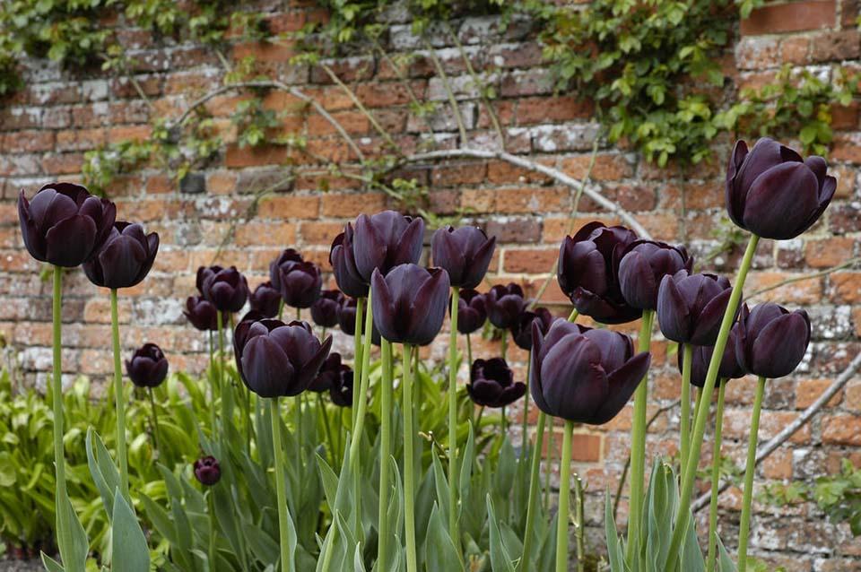Ảnh vườn hoa tulip đen