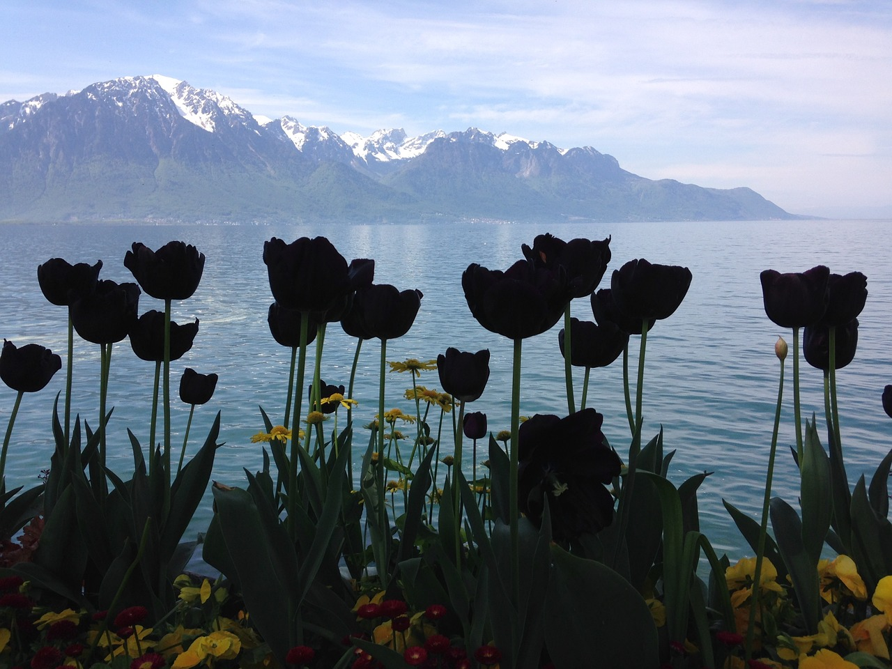 Black tulips Images
