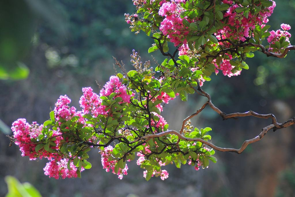 Hình ảnh cành hoa Tường Vi cực đẹp