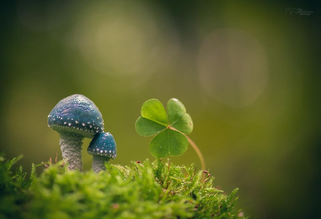 Hình ảnh cây nấm cùng cỏ ba lá