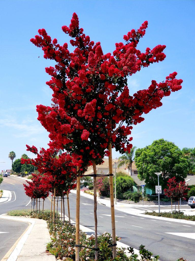 Hình ảnh cây Tường Vi đỏ bên đường