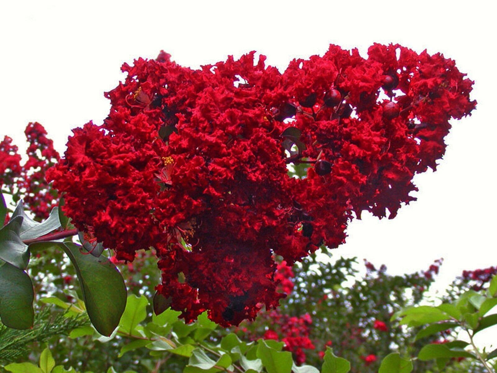 Hình ảnh đẹp nhất về hoa Tường Vi đỏ