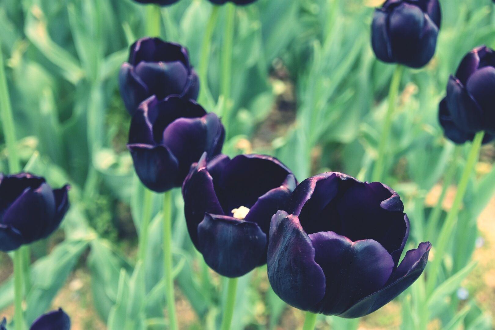 Hình ảnh đẹp về hoa tulip đen