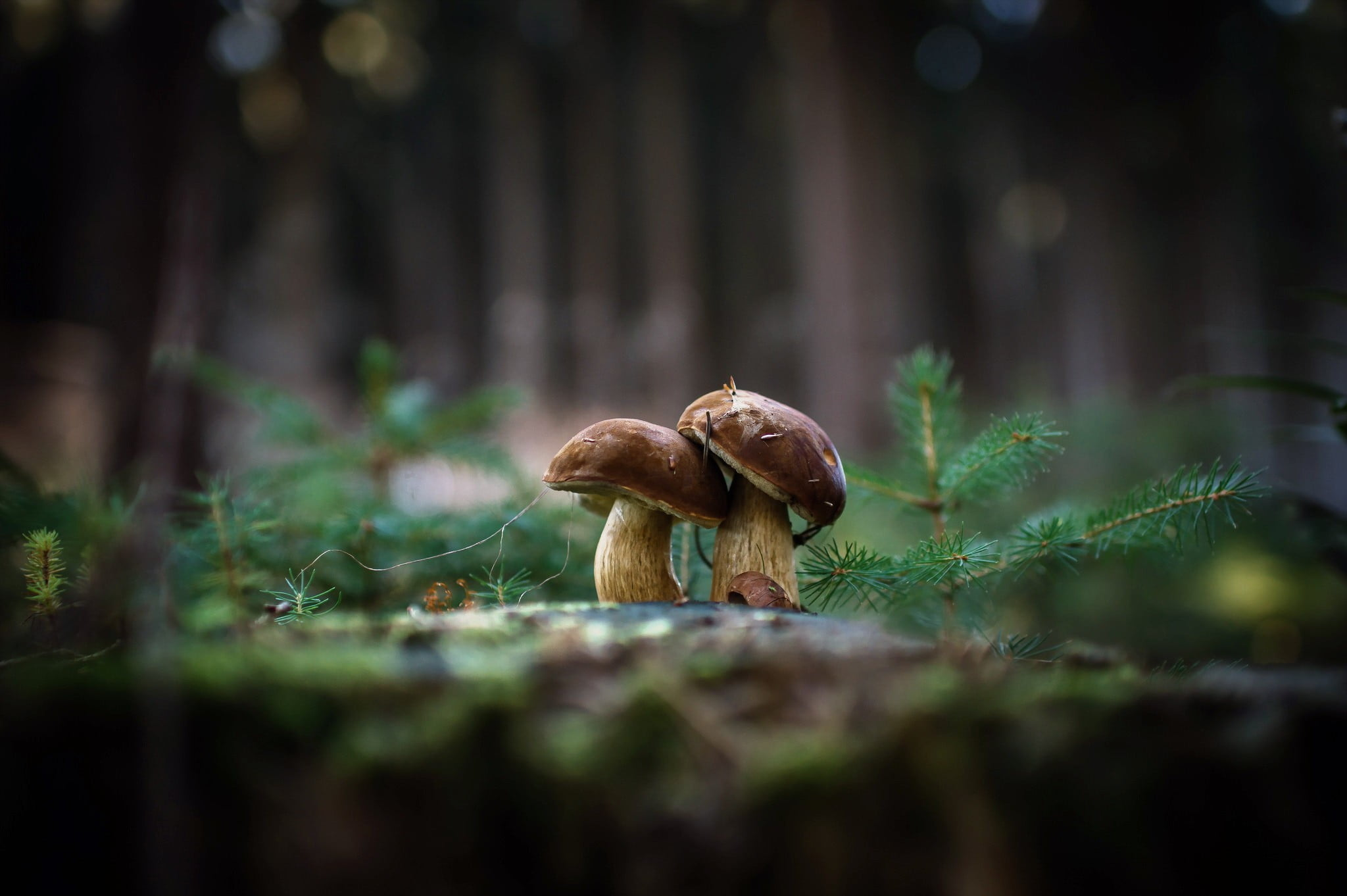 Hình ảnh hai cây nấm nâu đẹp