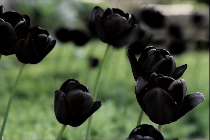 Hình ảnh hoa Tulip đen cực đẹp
