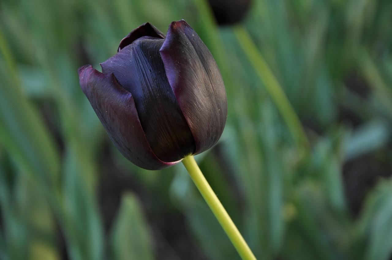 Hình ảnh hoa Tulip đen