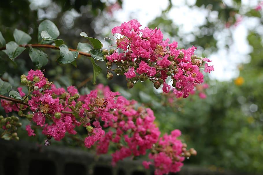 Hình ảnh hoa Tường Vi cuối mùa