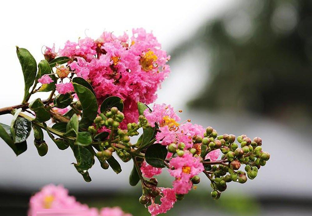 Hình ảnh hoa Tường Vi đẹp lộng lẫy