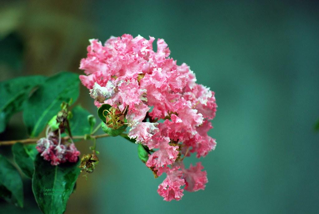 Hình ảnh hoa Tường Vi đẹp