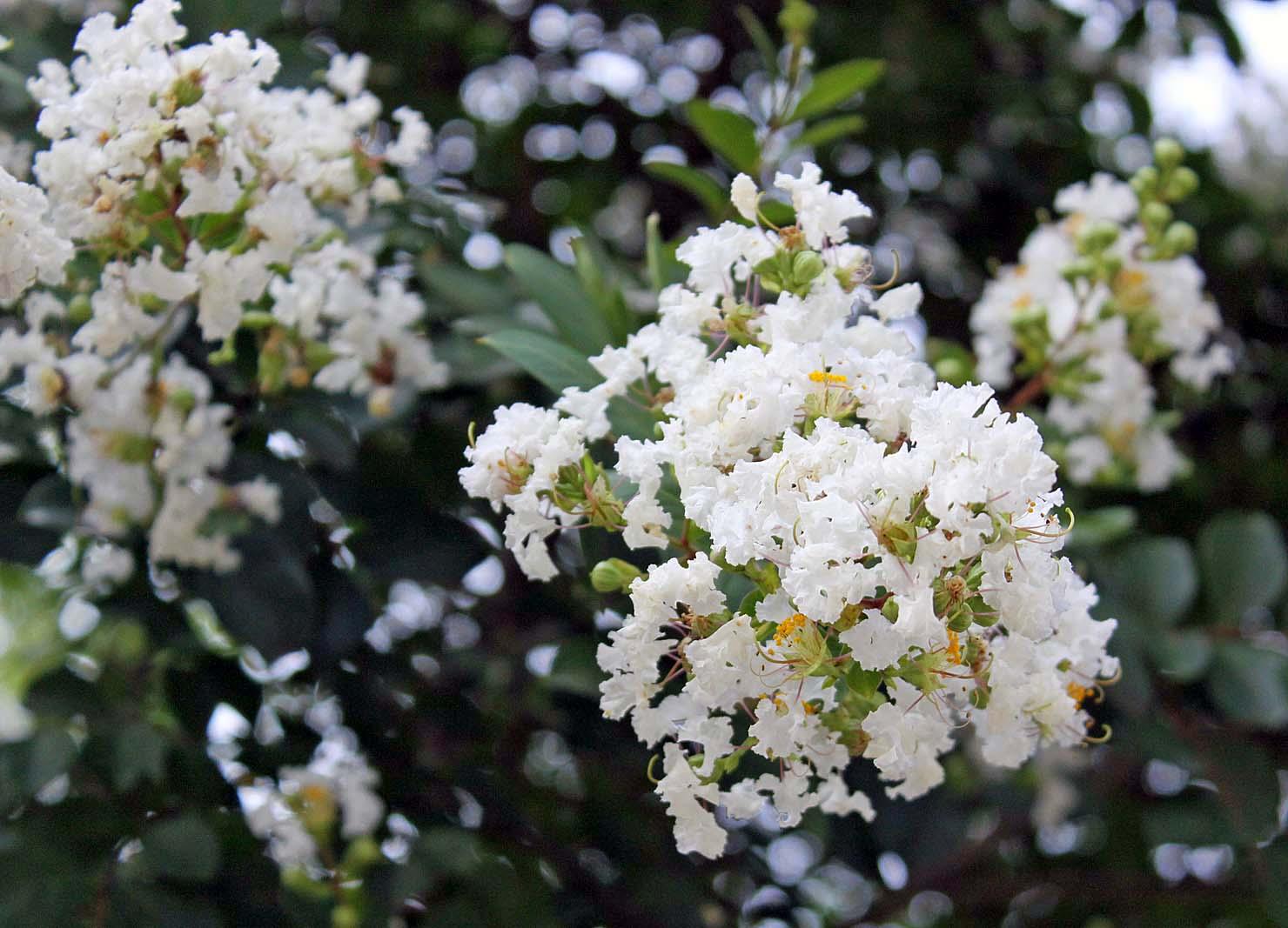 Hình ảnh hoa Tường Vi hoa trắng đẹp nhất