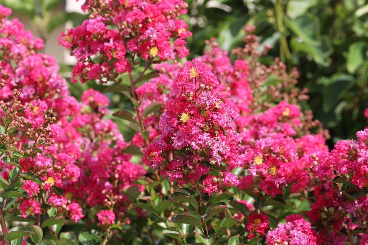 Hình ảnh hoa tường vi rực rỡ dưới nắng