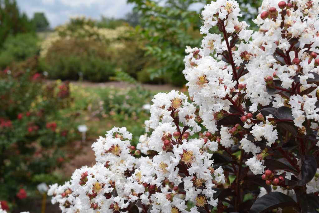 Hình ảnh hoa Tường Vi