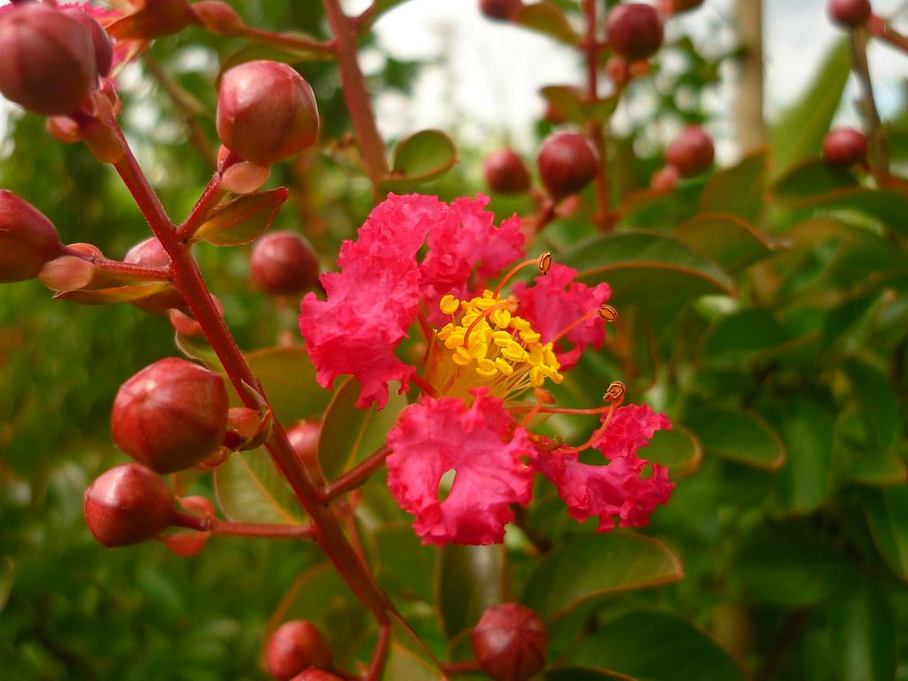 Hình ảnh nụ hoa Tường Vi mới nở