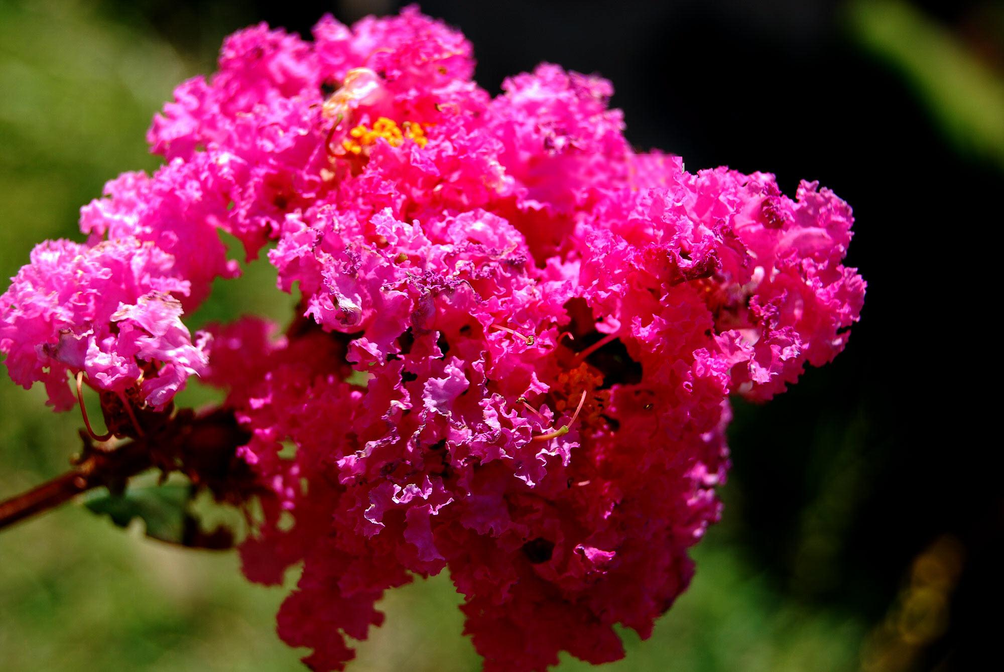 Hình chùm Tường Vi hồng nở