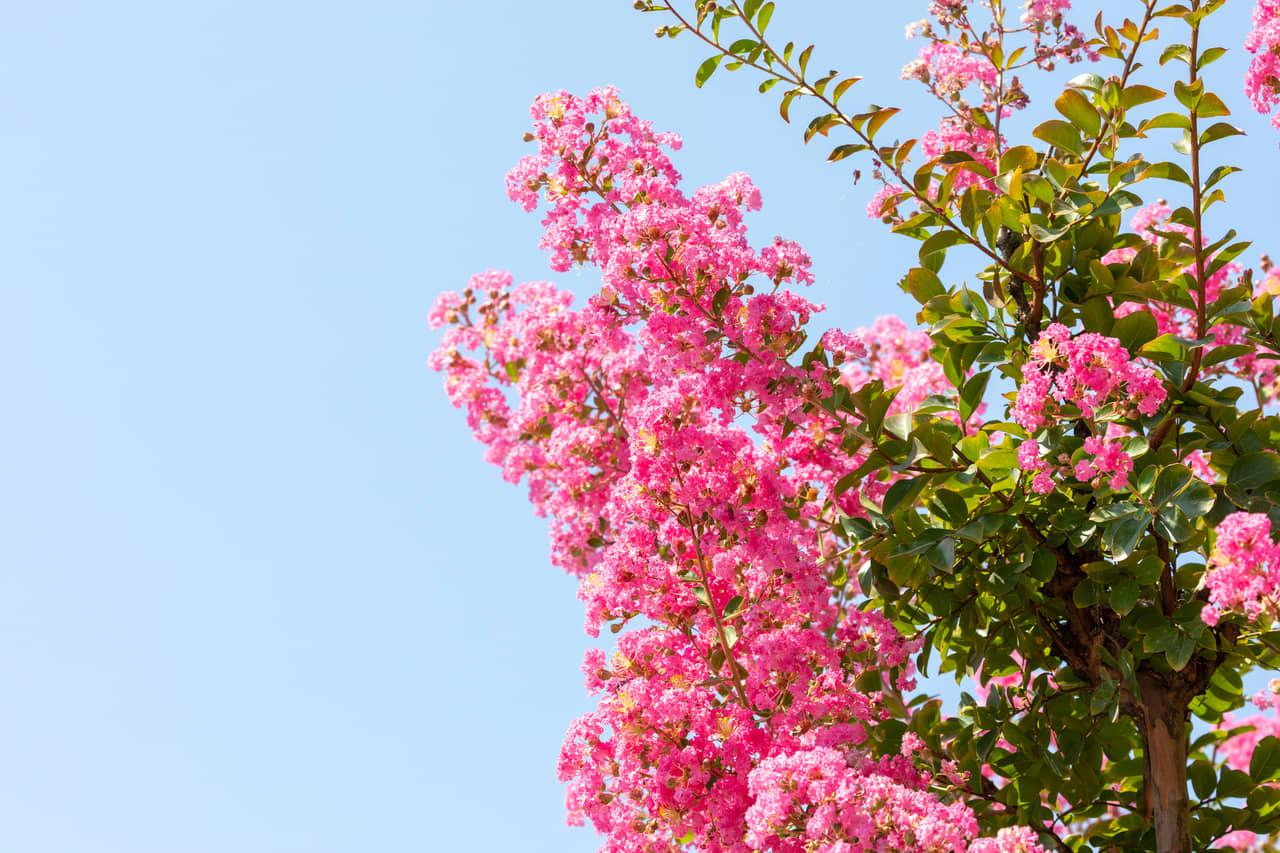 Hình hoa tường Vi hồng phấn