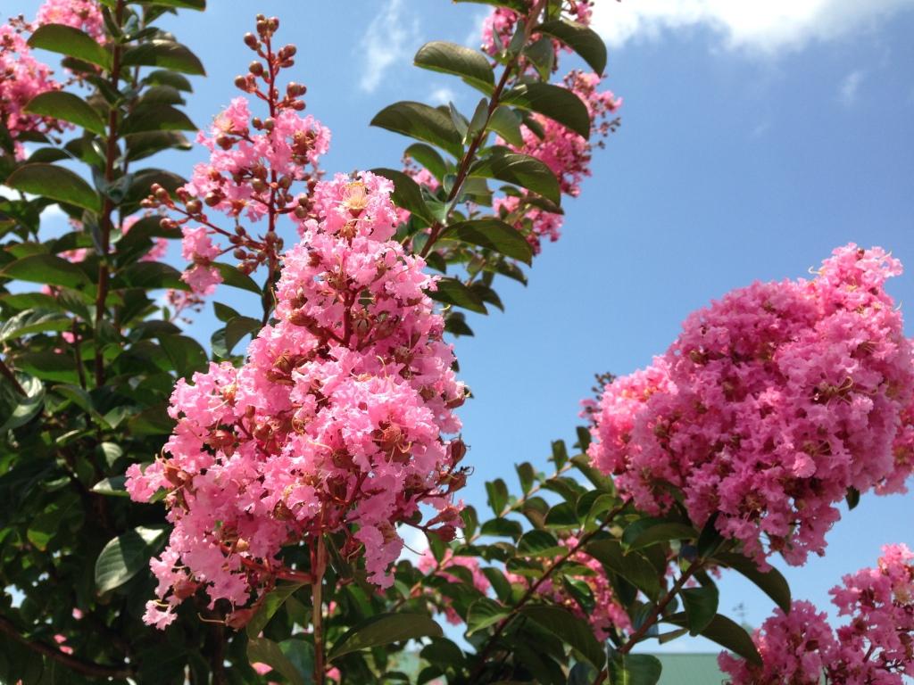 Hình hoa Tường Vi