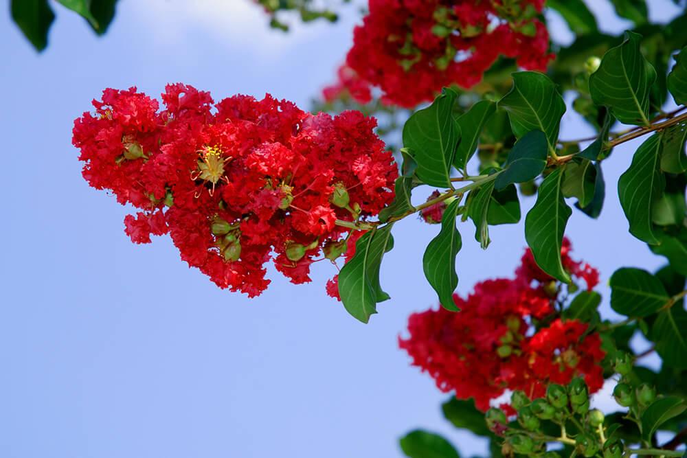 Hình nền hoa tường vi đỏ