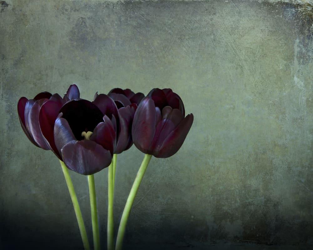 Hình vẽ hoa Tulip đen