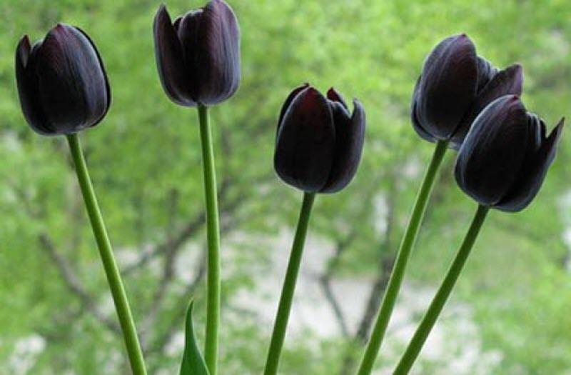 Hoa Tulip đen khoe sắc