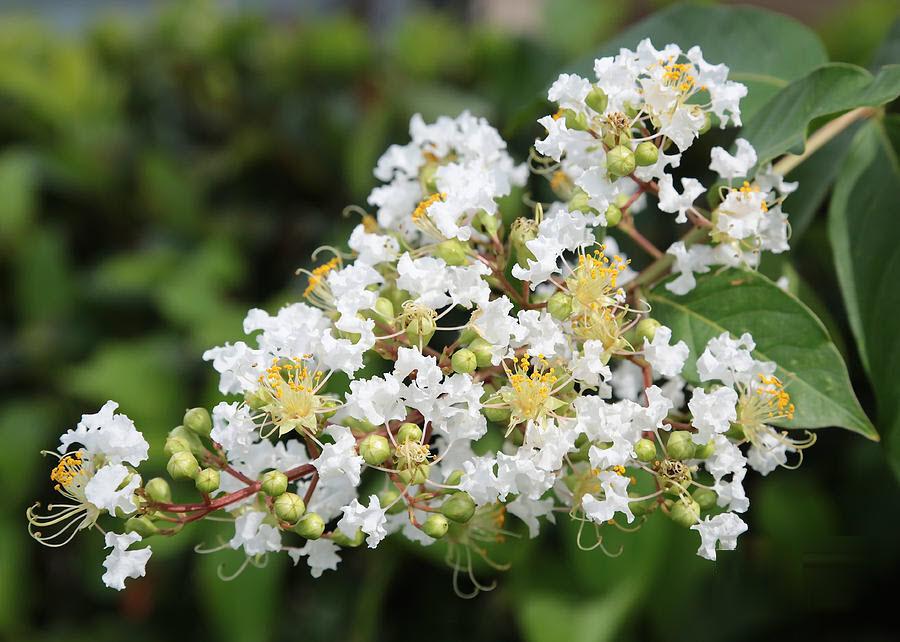 Hoa tường vi trắng cánh mỏng