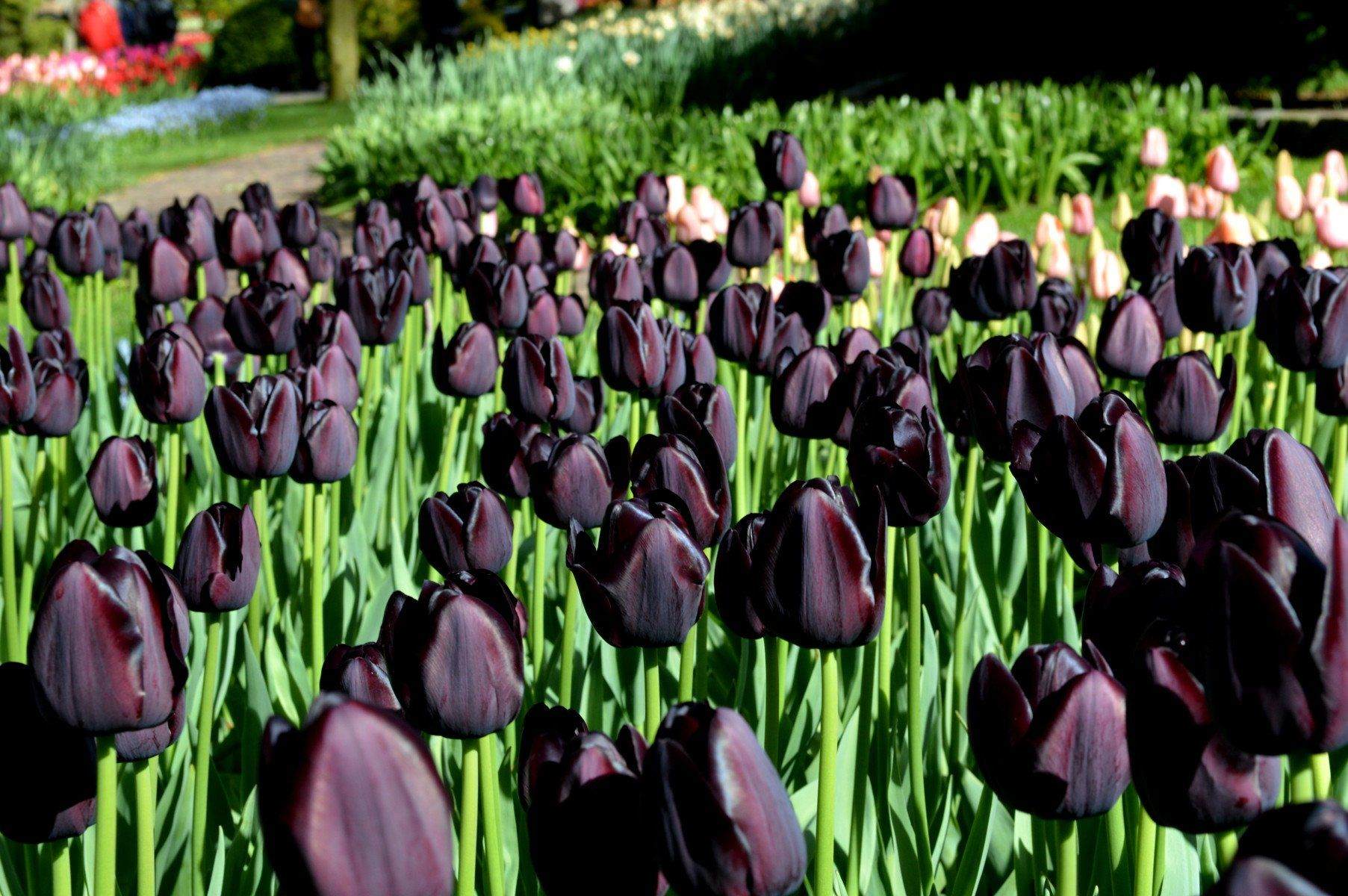 Queen night black tulip images