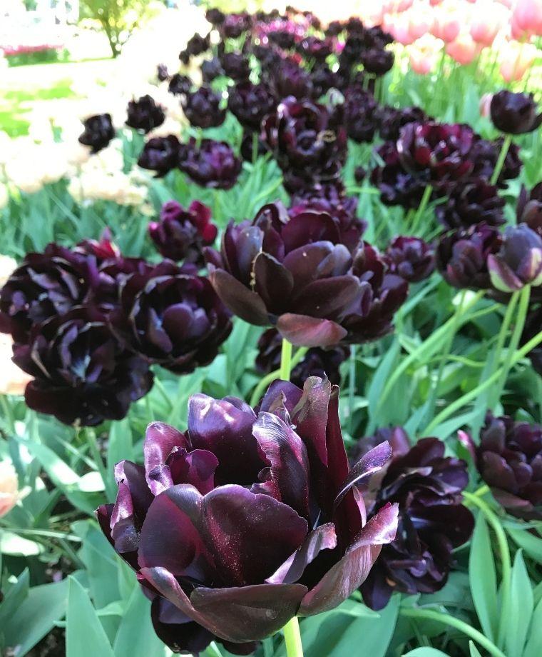 Tulip Black Hero Images