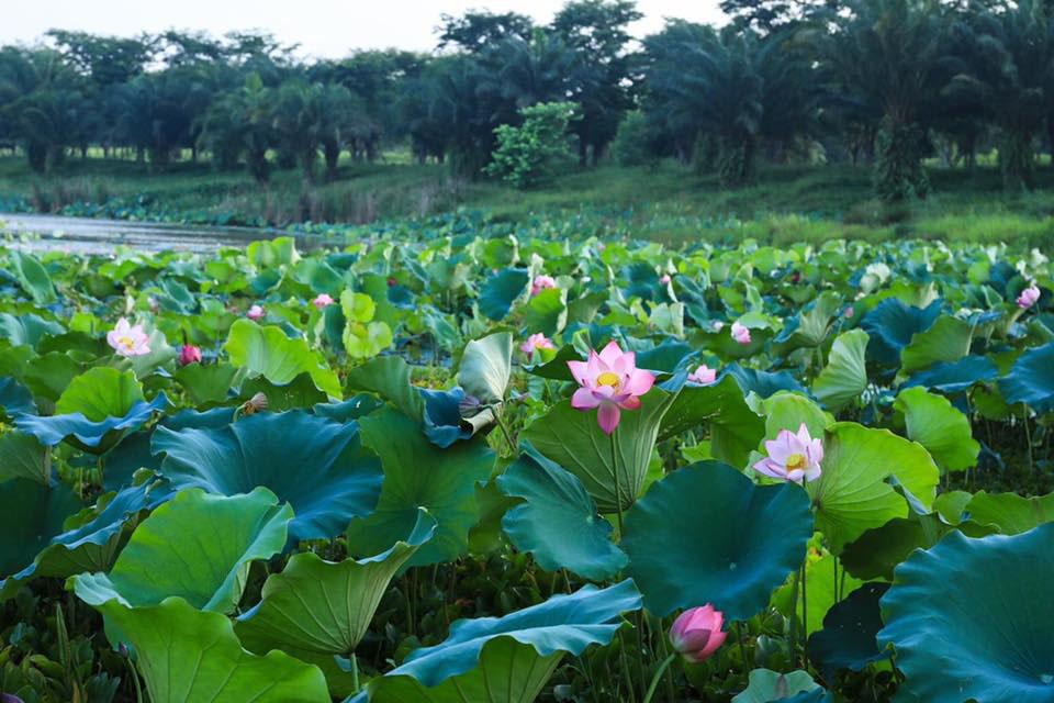 Ảnh đẹp cánh đồng sen Việt