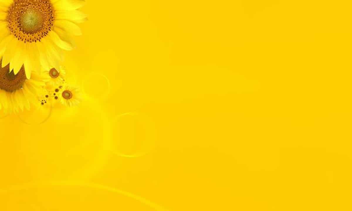 Background hoa hướng dương vàng