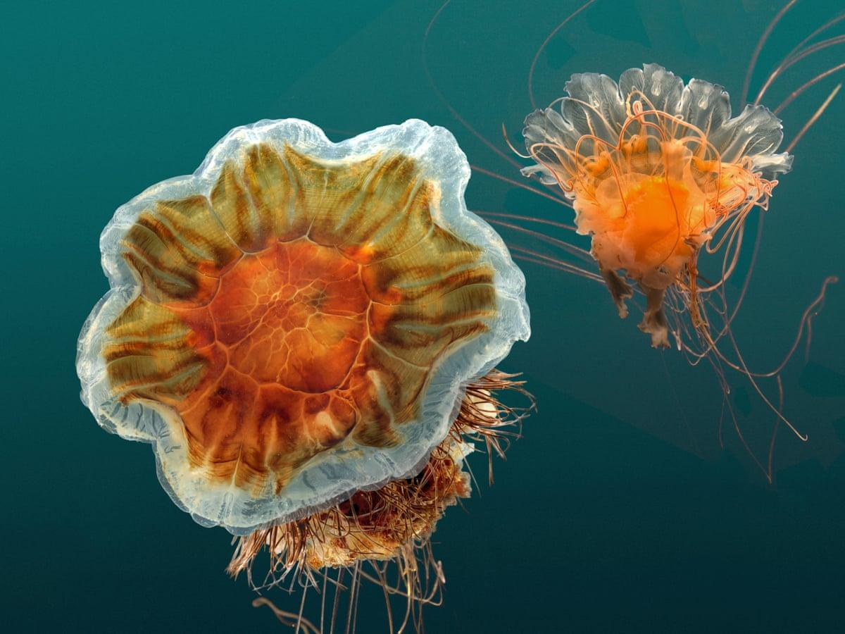 Ảnh con sứa biển