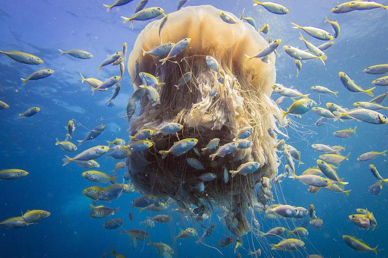 Ảnh con sứa bờm sư tử