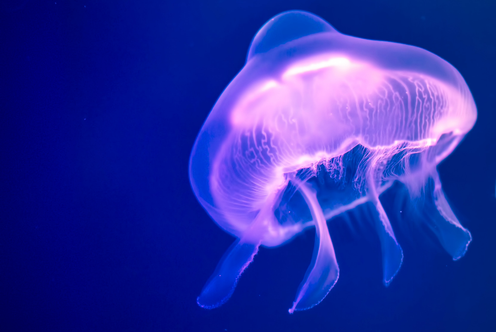 Ảnh con sứa tím