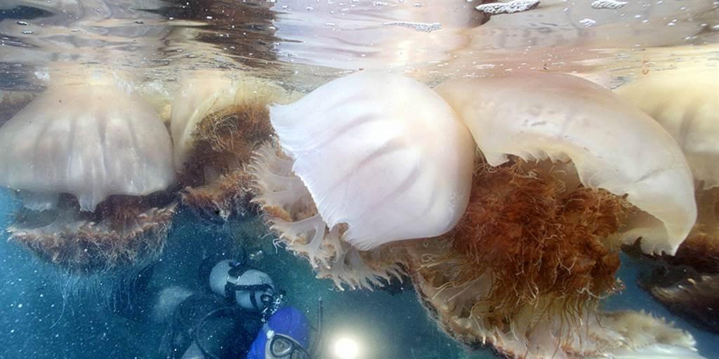 Ảnh con sứa xanh