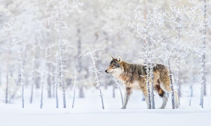 Ảnh sói bắc cực