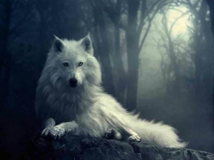 Ảnh sói trắng