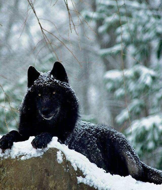 Hình ảnh chó sói đen