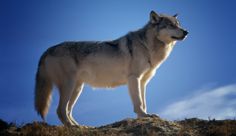 Hình ảnh con sói