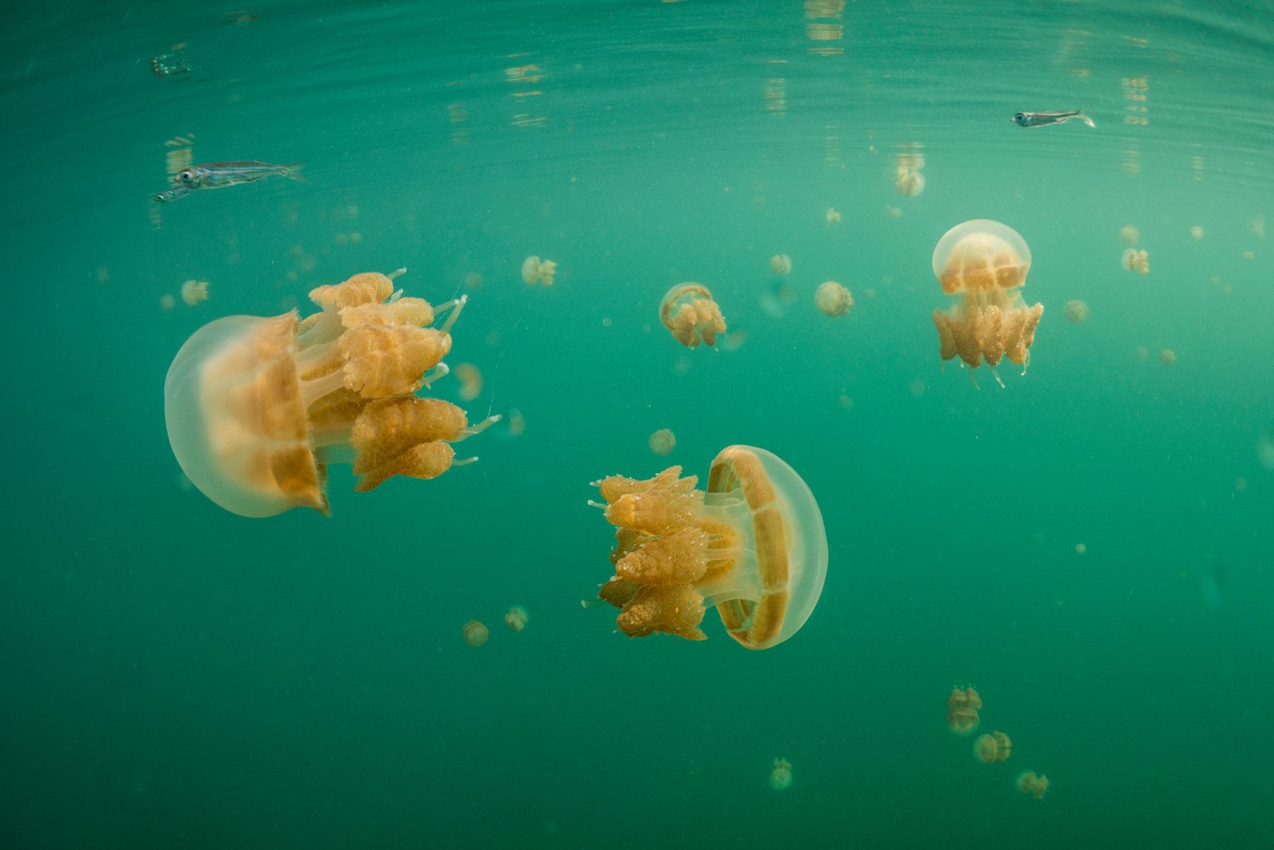 Hình ảnh con sứa cực đẹp