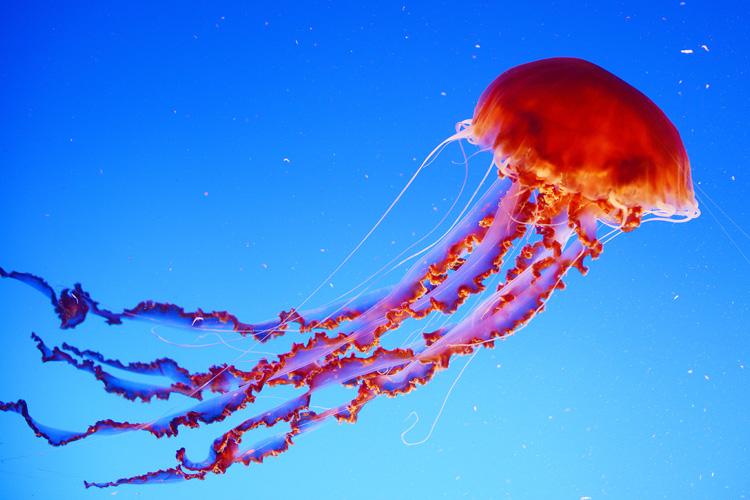 Hình ảnh con sứa đỏ