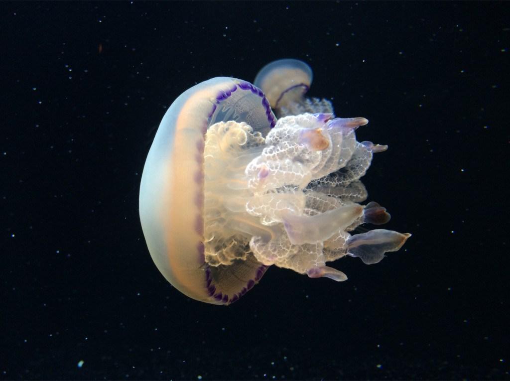 Hình ảnh con sứa giả