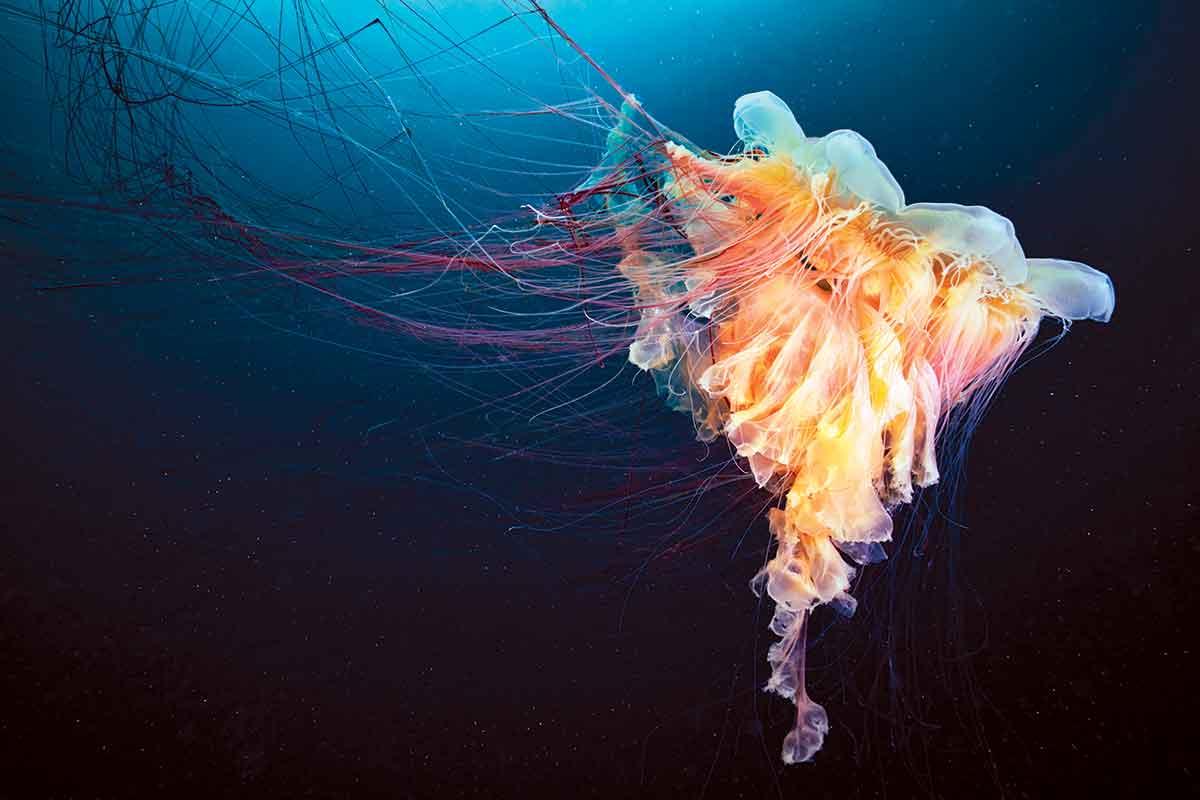 Hình ảnh con sứa màu hồng