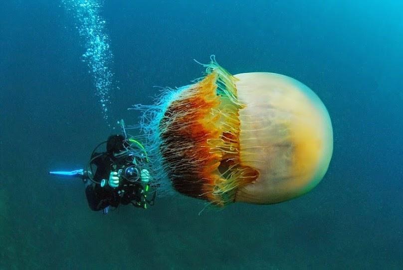 Hình ảnh con sứa trắng đẹp