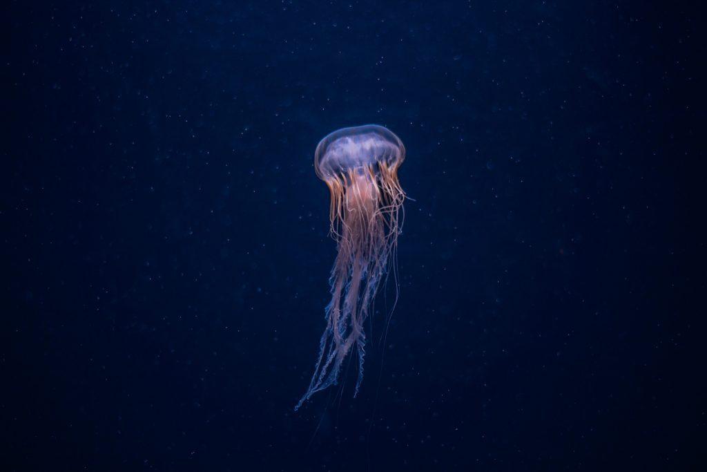 Hình ảnh con sứa trắng nhỏ