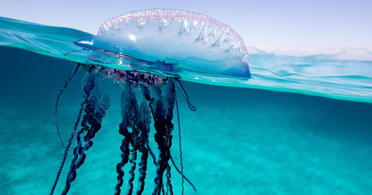Hình ảnh con sứa và thợ lặn
