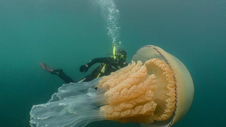 Hình ảnh con sứa vàng đẹp