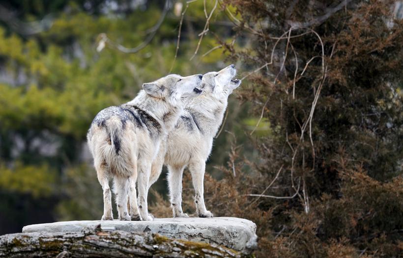 Hình ảnh đôi sói rừng