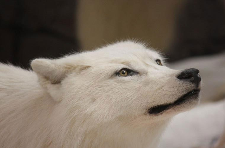 Hình ảnh sói bắc cực