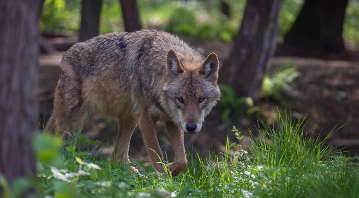 Hình ảnh sói châu âu